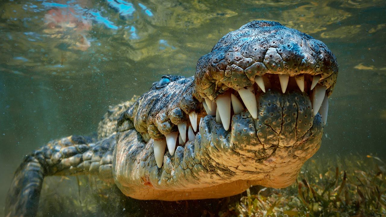 Krokodyl może być niebezpieczny (fot. Shutterstock/Willyam Bradberry)