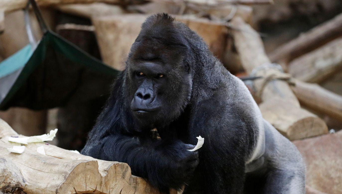 Goryl Richard ma koronawirusa (fot. Reuters)
