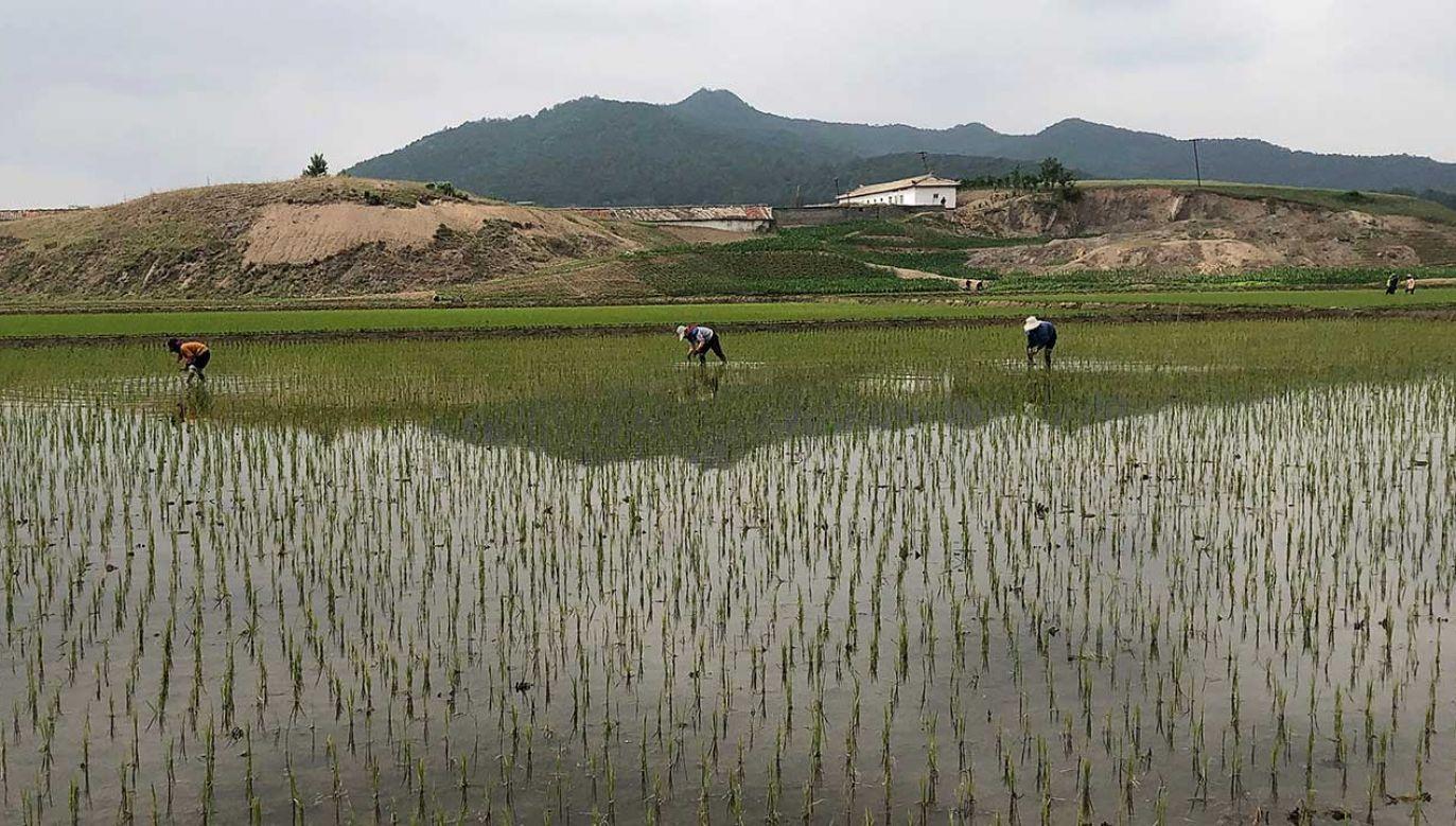 Pola ryżowe w Korei Północnej (fot. Yevgeny Agoshkov\TASS/Getty Images)