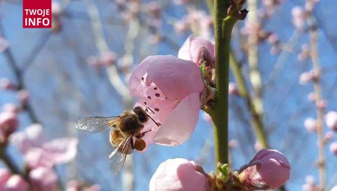 Fotografie pszczół można przesyłać na twoje@tvp.info (fot. Twoje Info; zdjęcie nadesłane przez Czytelnika)