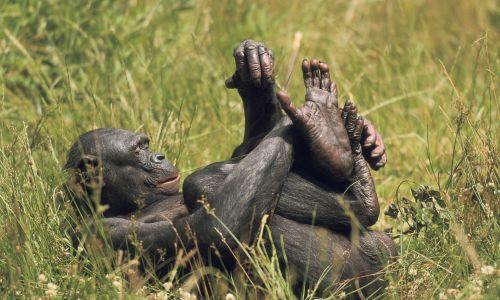 """Chyba najbardziej entuzjastycznie i jednocześnie powszednio podchodzący do seksu wśród naczelnych jest bonobo (szympans karłowaty). Wykorzystuje on seks (hetero- i homoseksualny) jak my uścisk dłoni. Seks (oralny, petting, a także, rzadziej, penetracja) cementuje w ich grupach więzi społeczne, wprowadza młode samce do społeczności, kończy spory, nawet przebiegające z walką wręcz – czyli redukuje napięcie, """"spuszcza powietrze"""" z nabuzowanych samców. Fot. Sylvain CORDIER/Gamma-Rapho via Getty Images"""