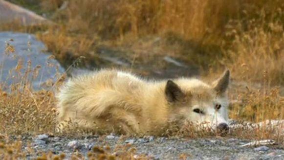 woolfi-czyli-maly-dziki-pies-grenlandzki