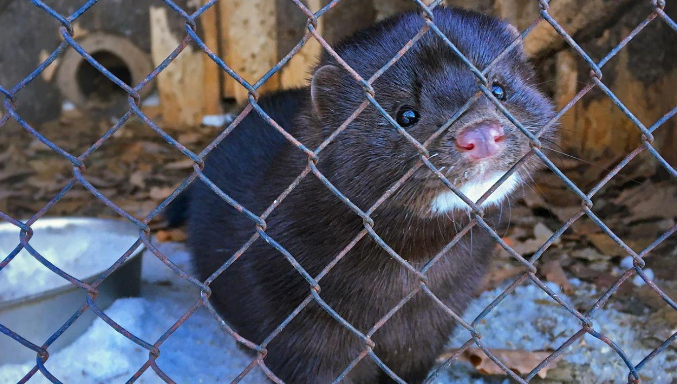 Przygotowana przez PiS nowelizacja zakazuje m. in. hodowli zwierząt na futra, wykorzystywania zwierząt w celach rozrywkowych i widowiskowych, a ubój rytualny dopuszcza tylko na potrzeby krajowych związków wyznaniowych (fot. Shutterstock/Mikhail Rodionov)