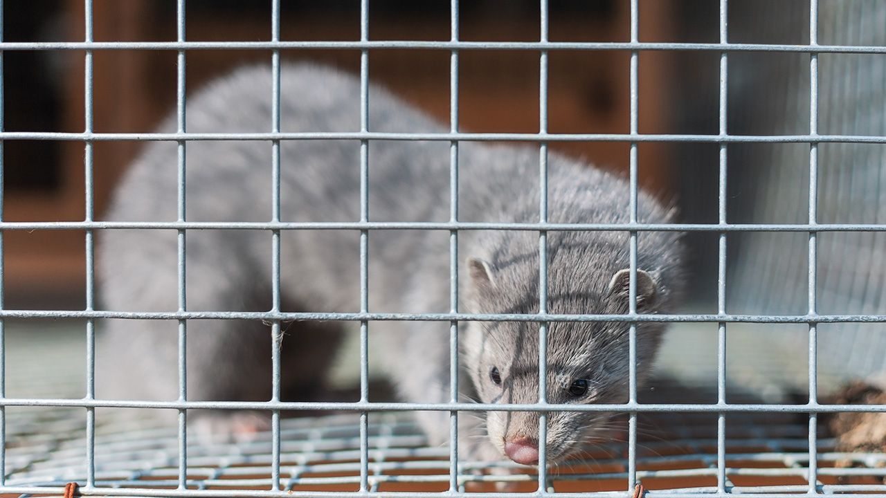 Za odrzuceniem propozycji, która realizuje tzw. piątkę dla zwierząt, zapowiedzianą przez prezesa PiS Jarosława Kaczyńskiego, głosowało 35 posłów klubu PiS (fot. Shutterstock/Georgy Golovin)