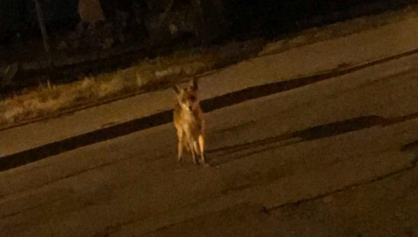Zwierzę wygląda i zachowuje się jak szakal (fot. Straż Miejska w Zgierzu)
