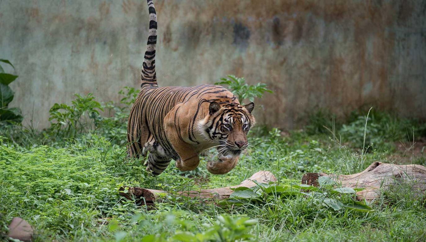 W okolicach indyjskiego parku narodowego Nagarhole tygrysy tylko w tym roku zabiły już 3 osoby (fot. Shutterstock/dptro)