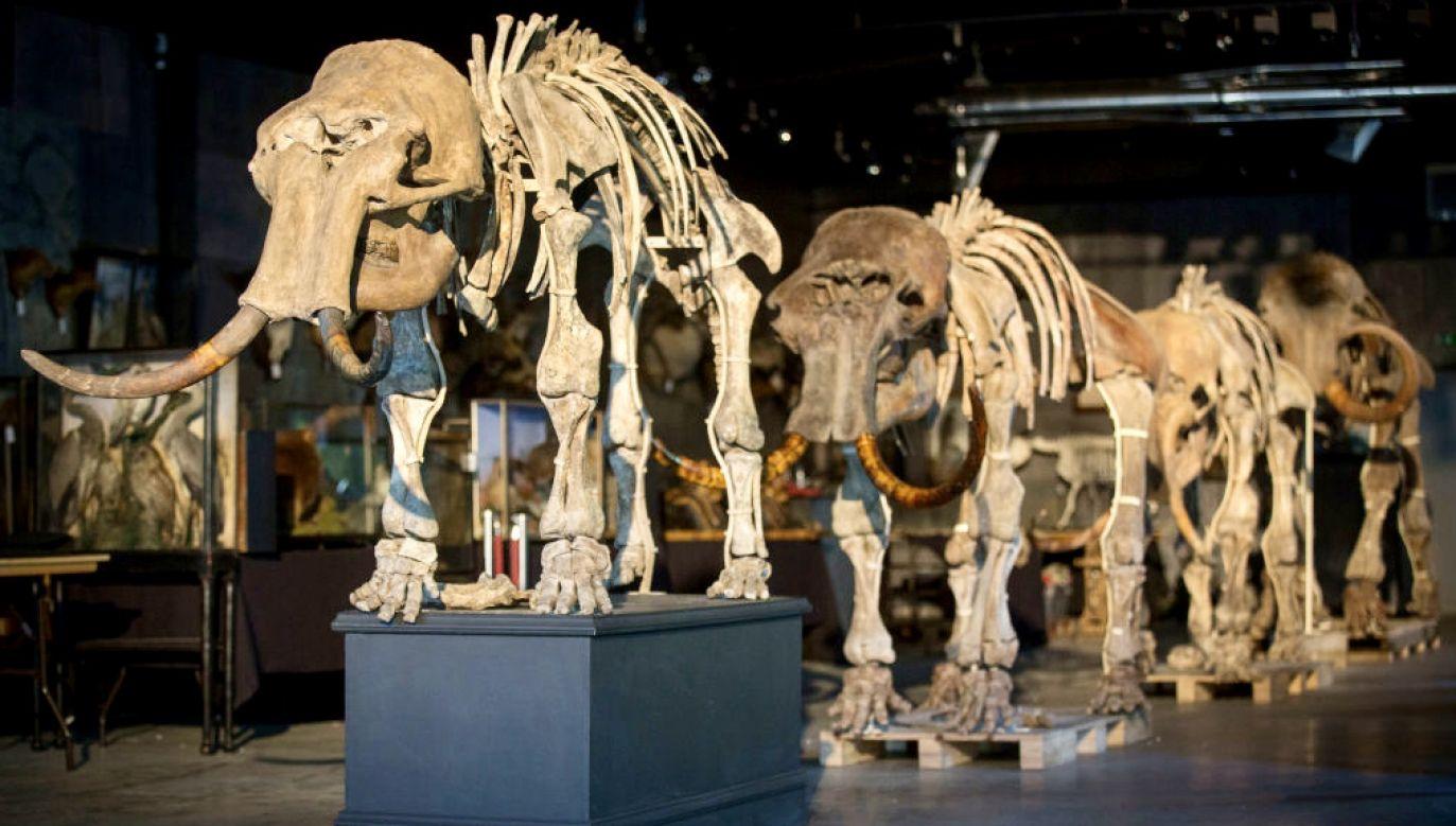 W Sztokholmie udało się wydobyć i zsekwencjonować DNA z zęba mamuta datowanego na 1,6 mln lat (fot. R.Stothard/Getty Images, zdjęcie ilustracyjne)