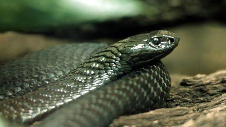 Ponad dwumetrowy wąż na peronie nowojorskiego metra (fot. PAP)