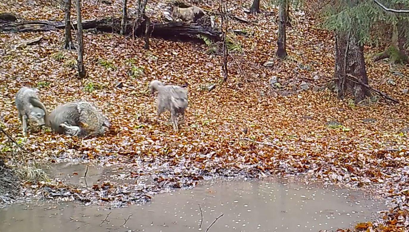 Beztroskie zabawy wilczej rodziny (fot. Facebook/Babiogórski Park Narodowy)