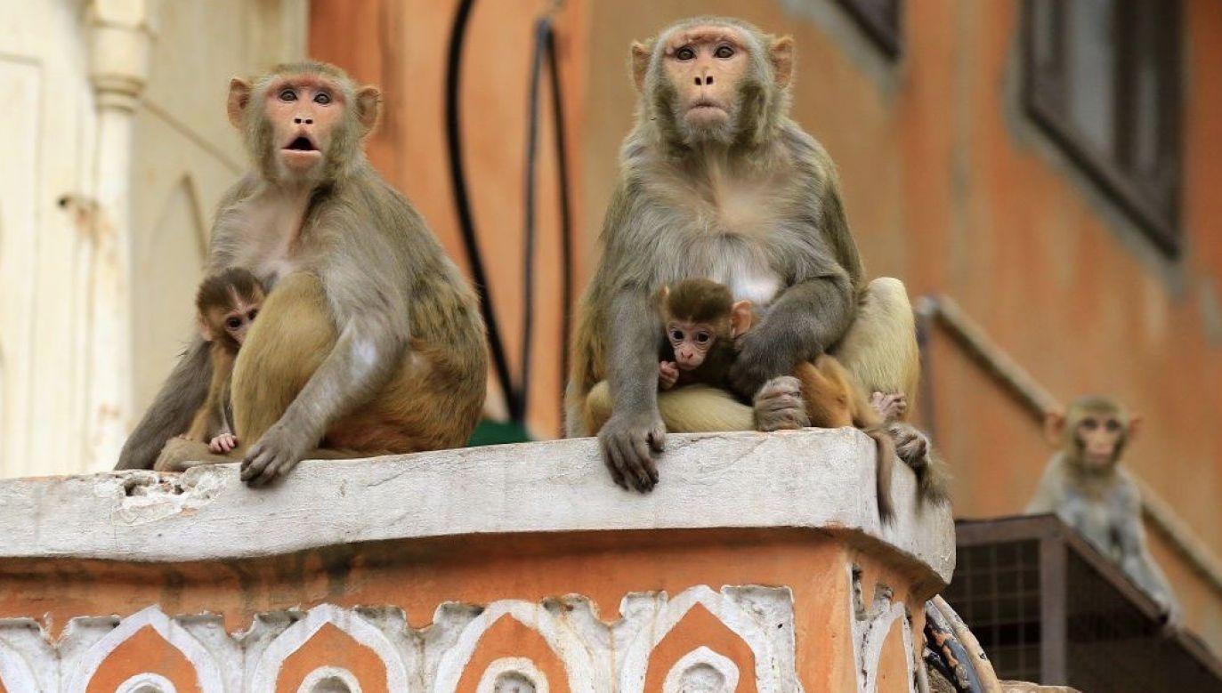 Władze nie są pewne, czy małpy rozlały zakażoną krew (fot. Getty Images)