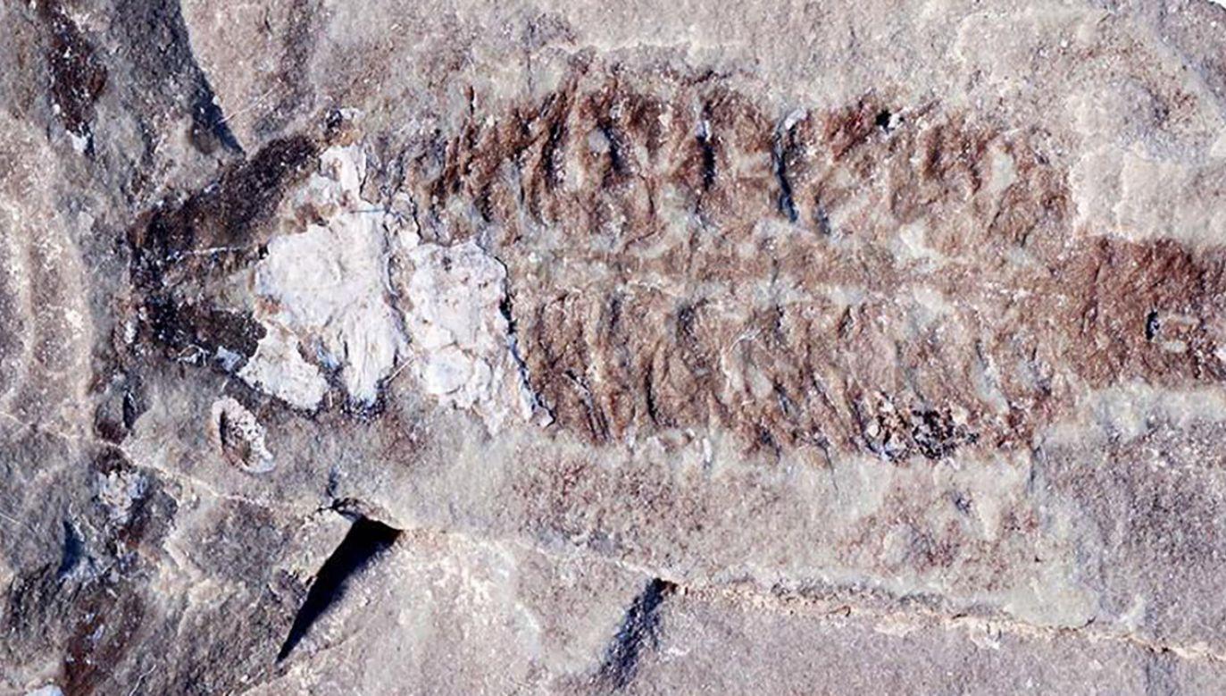 Najstarsze zwierzę lądowe to skorpion (fot. Wendruff/ Scientific Reports, 2020)