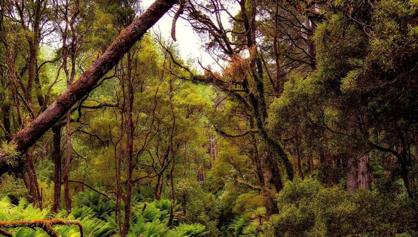 Drzewa te dorastają do 40 metrów wysokości (fot.12019/pixabay/zdjęcie ilustracyjne)