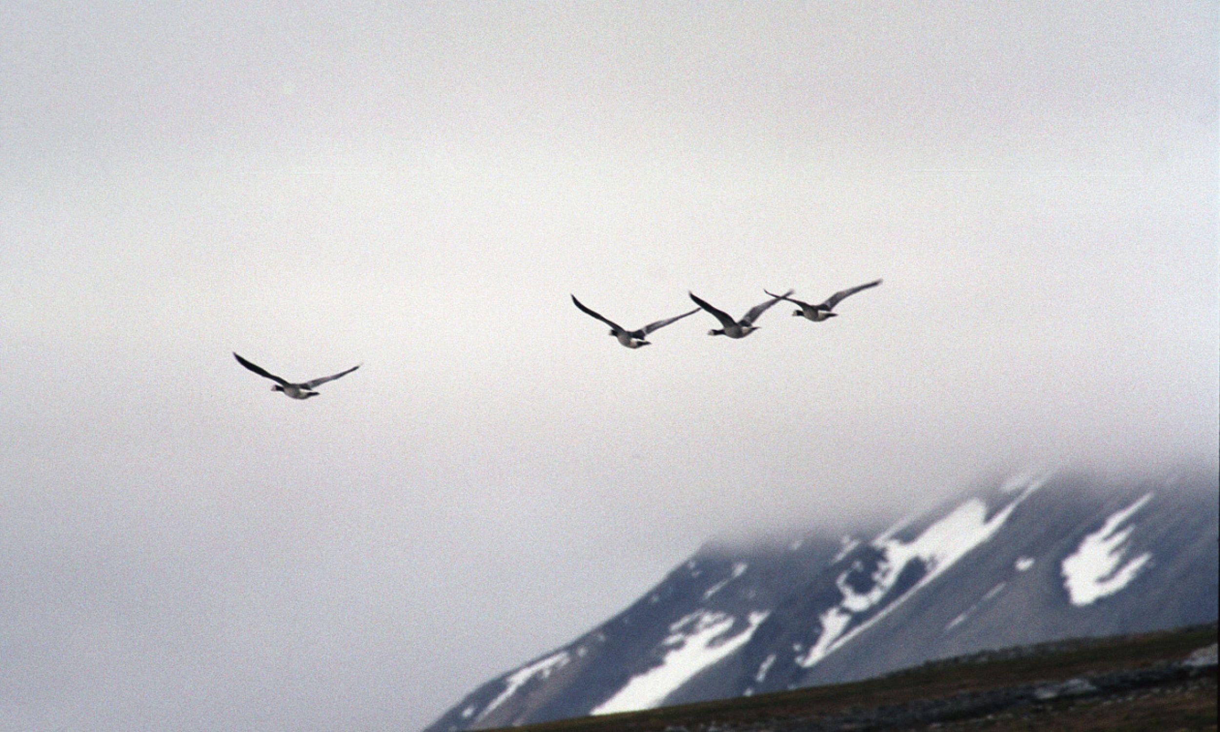 Bernikle białolice to jedne z ptaków migrujących na największych wysokościach. Tu: na Spitsbergenie, w Svalbard. For. Wikimedia/Jerzy Strzelecki - Own work, CC BY-SA 3.0