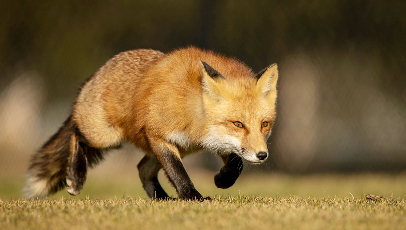 Wykryto kolejny przypadek wścieklizny u lisa w województwie mazowieckim (fot. Shutterstock)
