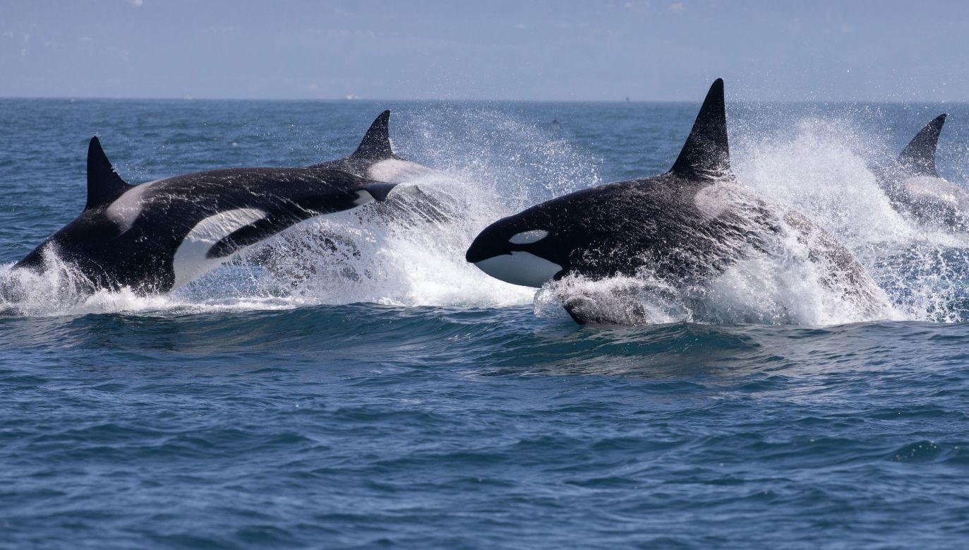 Naukowcy nie potrafią wyjaśnić jednoznacznie, dlaczego orki atakują statki (fot. Shutterstock/Tory Kallman)