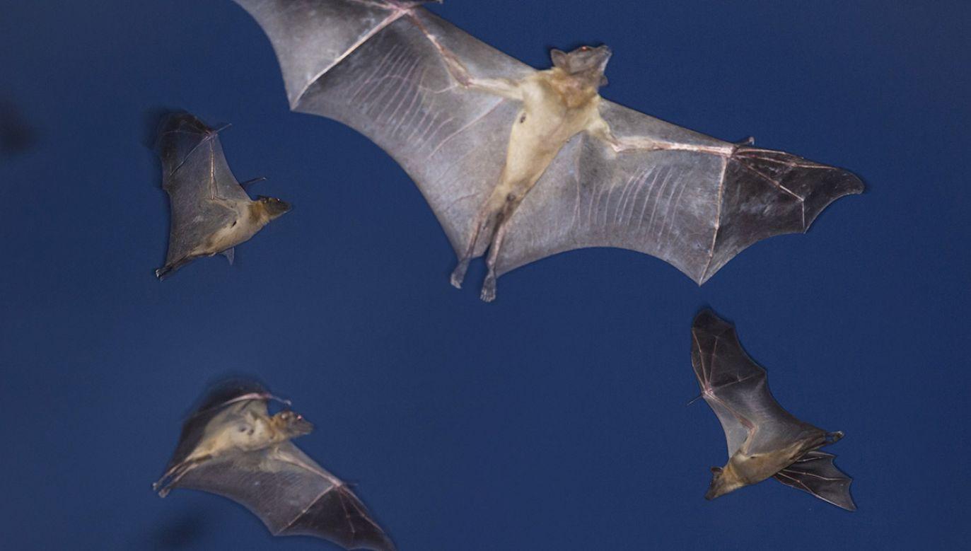 W 2010 roku z nietoperzy z rodziny podkowcowatych pobrano dwie próbki (fot. N.Garbutt/Barcroft Media/Getty Images)