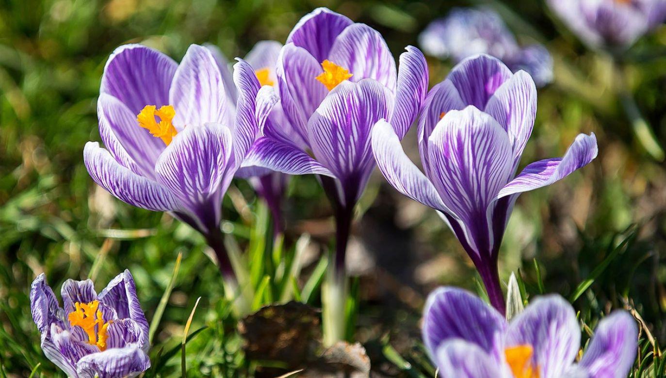 Odkryto, jakie zmiany w pochłanianiu ultrafioletu zaszły w kwiatach przez ostatnie 75 lat (fot. PAP/Łukasz Gągulski)