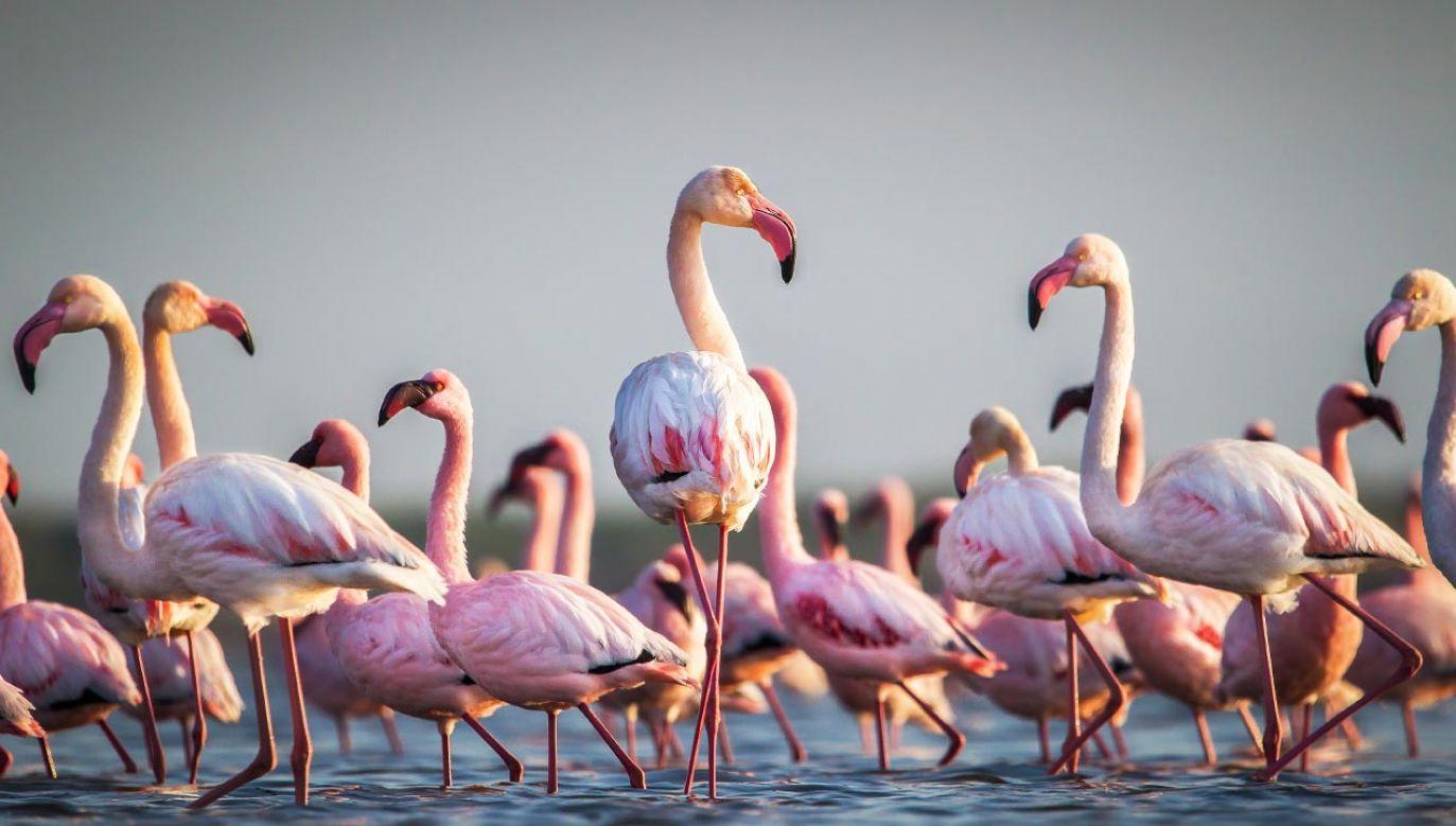 Flamingi różowe (fot. Shutterstock/John Michael Vosloo)