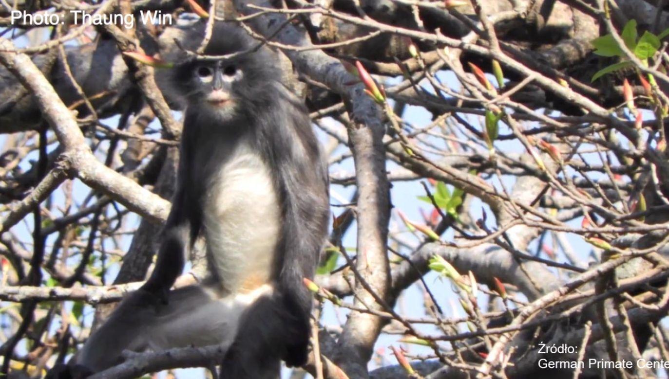 Myanmarską małpę z zadartym nosem po raz pierwszy odkryto w 2010 roku (fot. EBU/ German Primate Center)