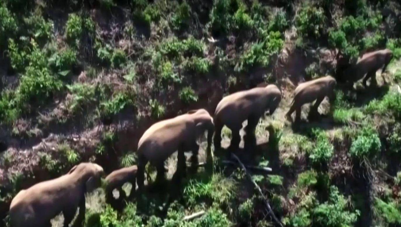 Trasa słoni jest monitorowana (fot.)